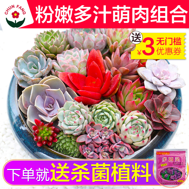 春芳室内园艺花卉多肉植物组合小盆栽批发含花盆新手套餐肉肉绿植