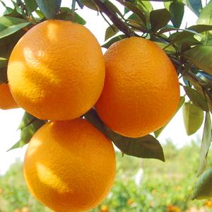赣南脐橙孕妇新鲜水果鲜甜橙子汁现摘江西赣州果园直供20斤包邮