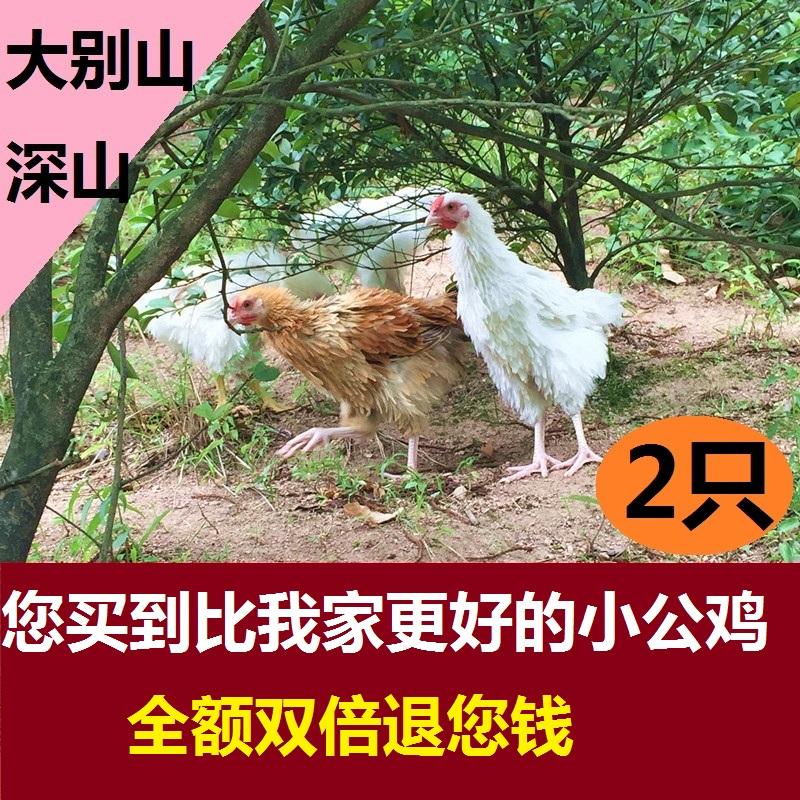 农家土公鸡