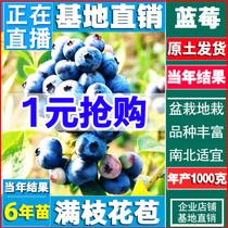 蓝莓苗 蓝莓树苗盆栽 南方北方种植果树苗 家庭盆栽地栽 当年结果
