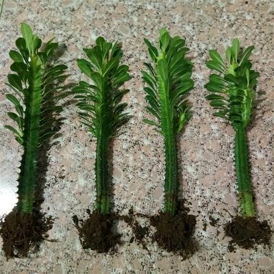 巴西龙骨 龙骨盆栽 室内观赏 霸王鞭 仙人掌 量天尺 多肉植物盆景