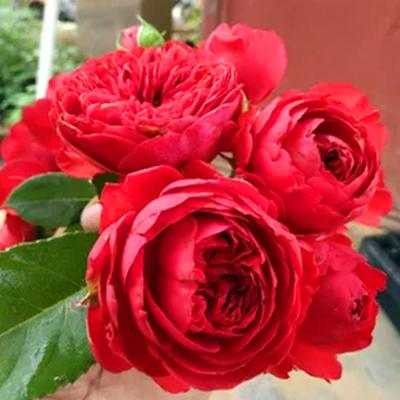 日本月季花苗切花灌木庭院阳台盆栽绿植花卉玫瑰红苹果四季开花