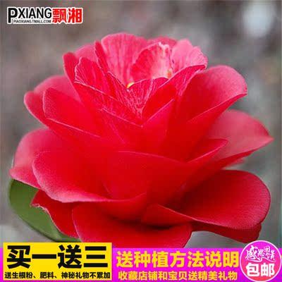 【小松子茶花苗】茶花花苗 山茶花花四季种植花卉盆栽绿植