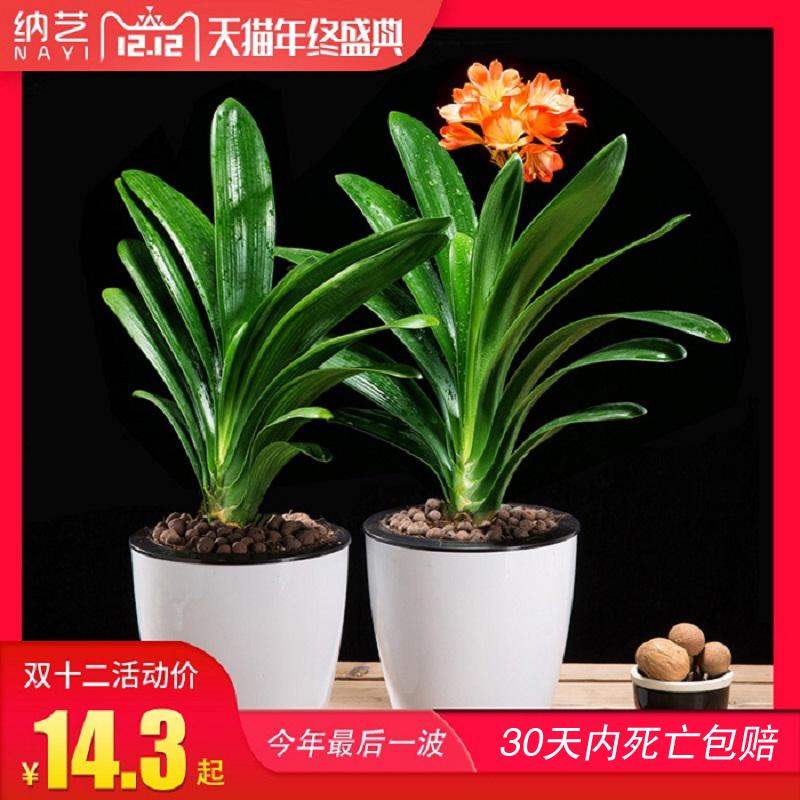 君子兰盆栽花卉圆头和尚办公室内绿植当年开花君子兰苗短叶吸甲醛