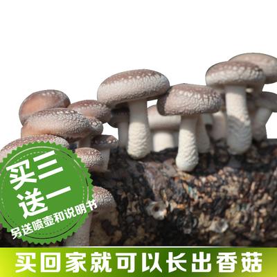 香菇菌包食用菌菌种菌包菌种蘑菇种子多肉植物阳台种植蘑菇菌包