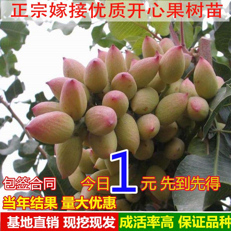 开心果树苗北方种