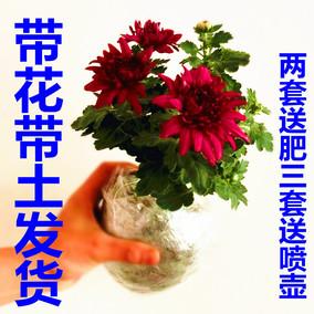 菊花苗带花苞盆栽菊花美人菊小雏菊乒乓球菊荷兰菊大菊花四季开花