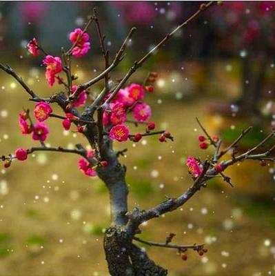 梅花盆景树桩梅花树苗腊梅苗红梅绿梅乌梅花苗盆栽美人梅花苗梅