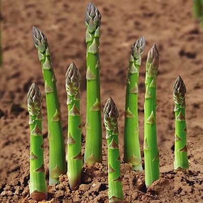 进口芦笋种子世界十大名菜之一 蔬菜种子 石刁柏种子 四季易种