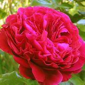 品种庭院盆栽当年开花 香味经典 欧月皇家胭脂月季灌木月季花甜甜