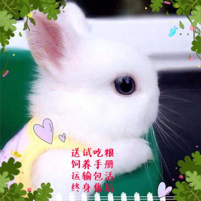宿舍家养小白兔活体小型迷你长不大侏儒兔垂耳兔不咬人宠物兔包邮