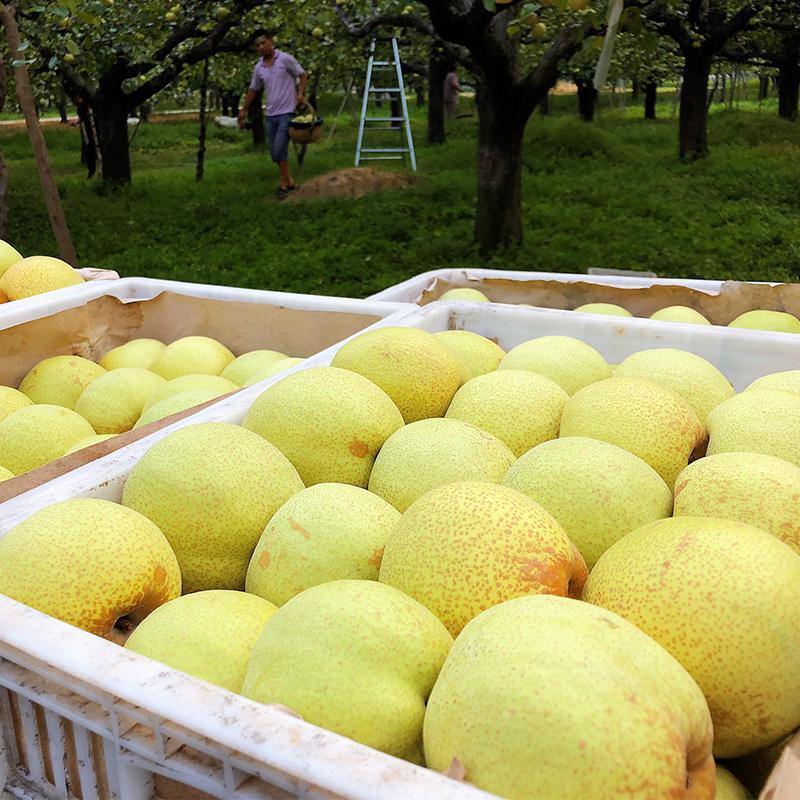 安徽砀山皇冠梨10斤梨子当季水果新鲜雪梨批发整箱包邮贡梨酥梨