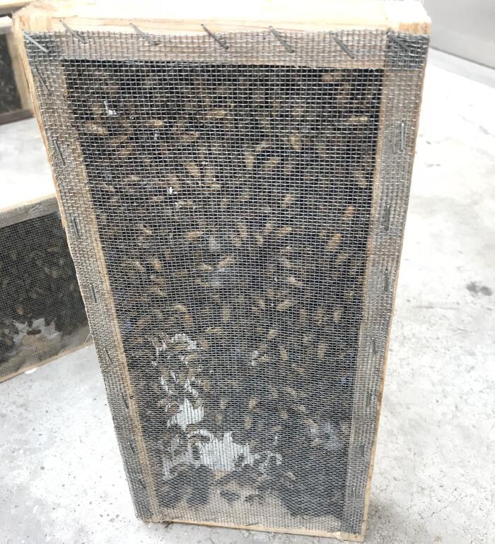 1500只带王笼蜂中蜂蜂群中华蜜蜂非双色王阿坝王蜂群活体蜜蜂蜂群