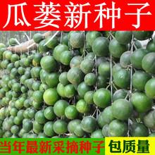瓜蒌籽 瓜蒌种子 吊瓜子种子 瓜楼 中药材种子种籽 栝楼种子 苦瓜