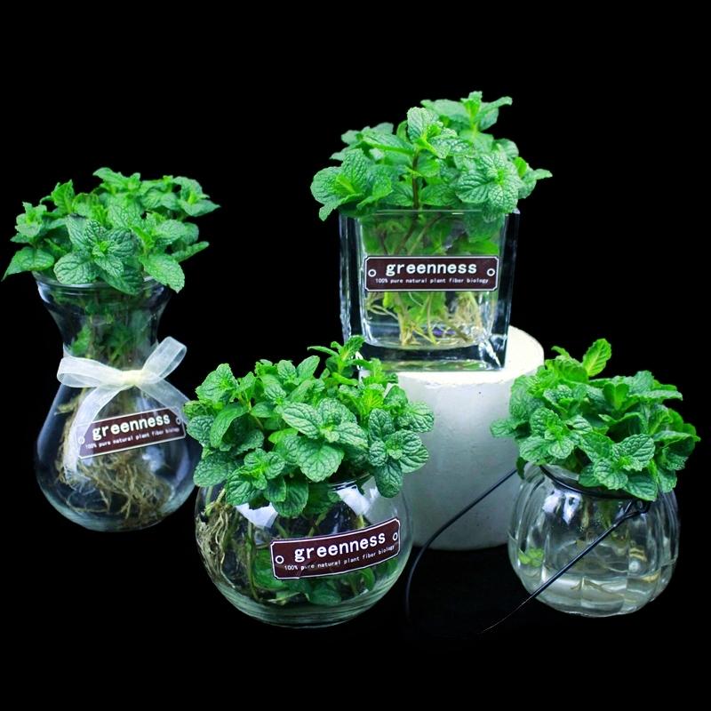 夏季水培植物盆栽留香薄荷柠檬可食用驱蚊草办公室内盆栽玻璃盆景