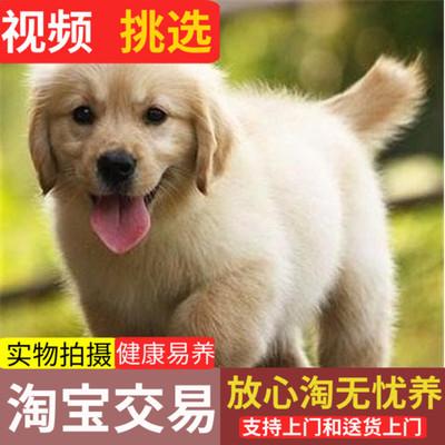 郑州出售纯种金毛活体幼犬中型宠物狗幼崽拉布拉多导盲猎寻回犬