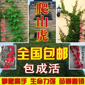 庭院攀援爬藤植物美国五叶地锦-三叶爬山虎大苗子-红叶爬墙虎盆栽