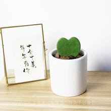 nature|心形叶球兰 办公室桌面绿植 情人节盆栽 深表爱意爱情植物