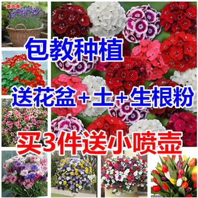 适合春天种的花种满天星石竹薰衣草种子冬季室内种植套装花种籽子