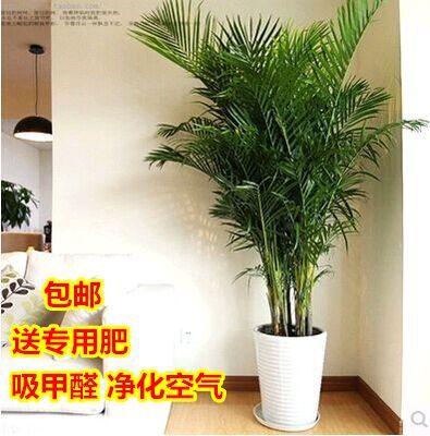 客厅大盆绿植是什么档次