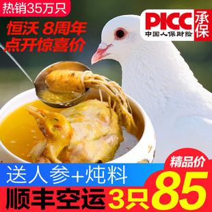 包邮 乳鸽农家散养野鸽子活体老鸽子肉生鲜现杀 新鲜土鸽子3只顺丰