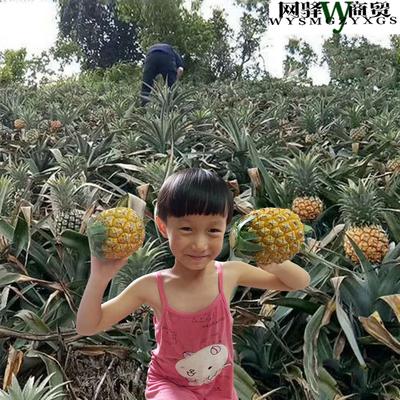 神湾菠萝带箱10斤包邮迷你小菠萝当季广东水果送礼胜泰国香水凤梨