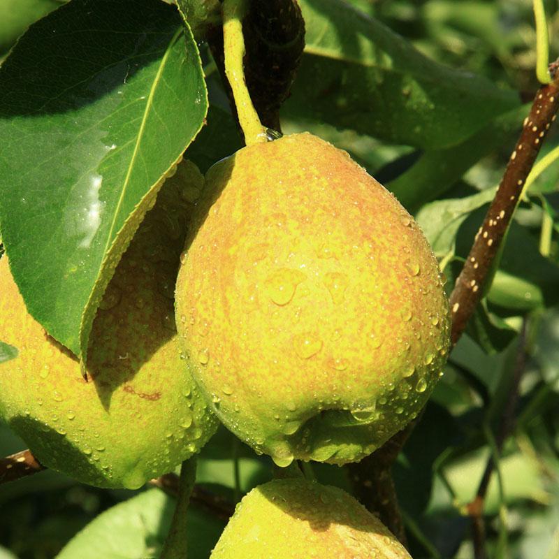 新疆库尔勒香梨小梨子单果80g净重5斤当季孕妇新鲜水果整箱包邮