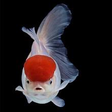 精品鹤顶红观赏鱼苗小型金鱼活体淡冷水丹顶鸿运当头额头红帽子鱼