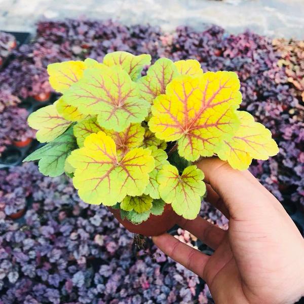 礬根綠植盆栽組合大苗種苗陽臺花園庭院室內宿根耐寒四季觀葉