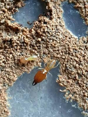 黄翅大白蚁(包括:菌蒲、王后、工兵) 活体白蚁生物研究科普教学