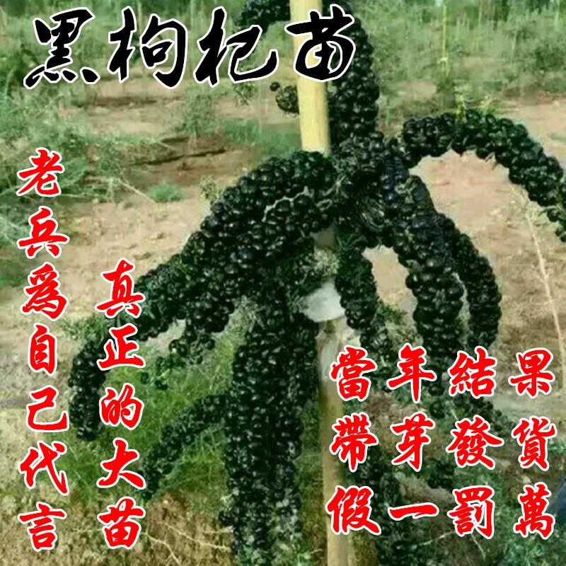 黑枸杞树苗盆栽