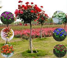 欧月树状月季花苗龙沙宝石欧月嫁接树桩月季苗庭院盆栽观花植物