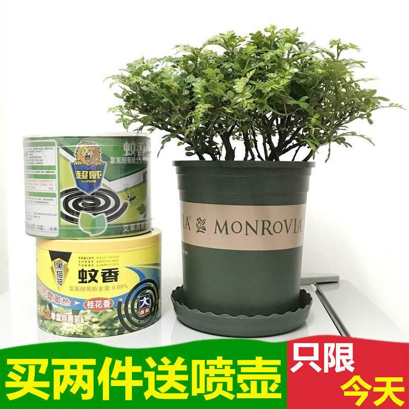夏季驱蚊植物 驱蚊草种子盆栽 九里香薄荷清香木盆栽室内防蚊植物