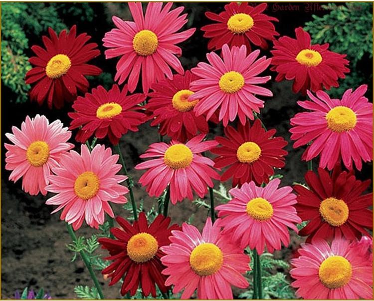 花卉菊花种子