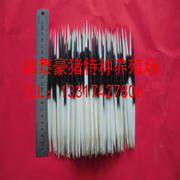 Natural porcupine thorn selection good toothpick fish float hairpin tea needle length 16CM 1 piece 10 pieces