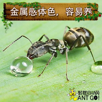 巴瑞弓背蚁Camponotus parius 蚂蚁世界 活体宠物蚂蚁 生日礼物