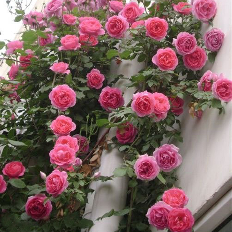 藤本月季 大游行多花蔷薇 庭院爬藤植物月季花苗玫瑰绿植盆栽欧月