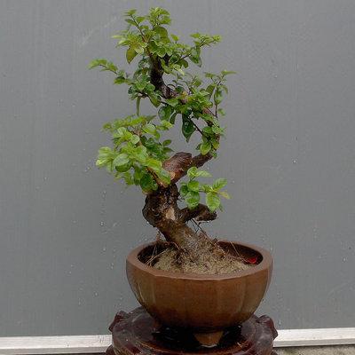 实物 雀梅 盆景 盆栽 雀梅苗 雀梅 树桩 造型 室内 庭院 绿植