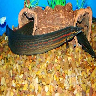 火龙鱼大型鱼可混养鱼能站起来的龙鱼热带鱼观赏鱼宠物鱼活体批发