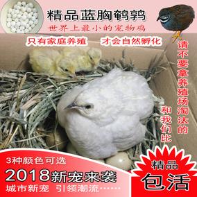 蓝胸鹌鹑成年下蛋小鸟迷你宠物鸡会孵化种蛋桂花雀活体芦丁鸡包邮