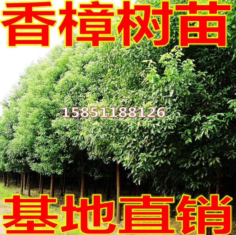绿化苗木四季常青