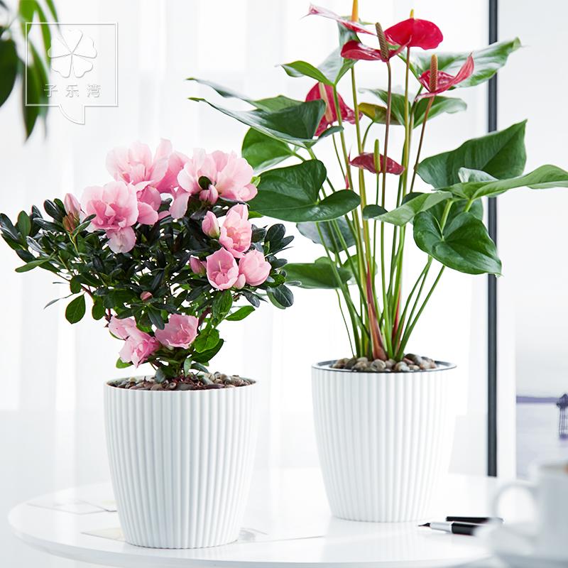四季杜鹃花带花