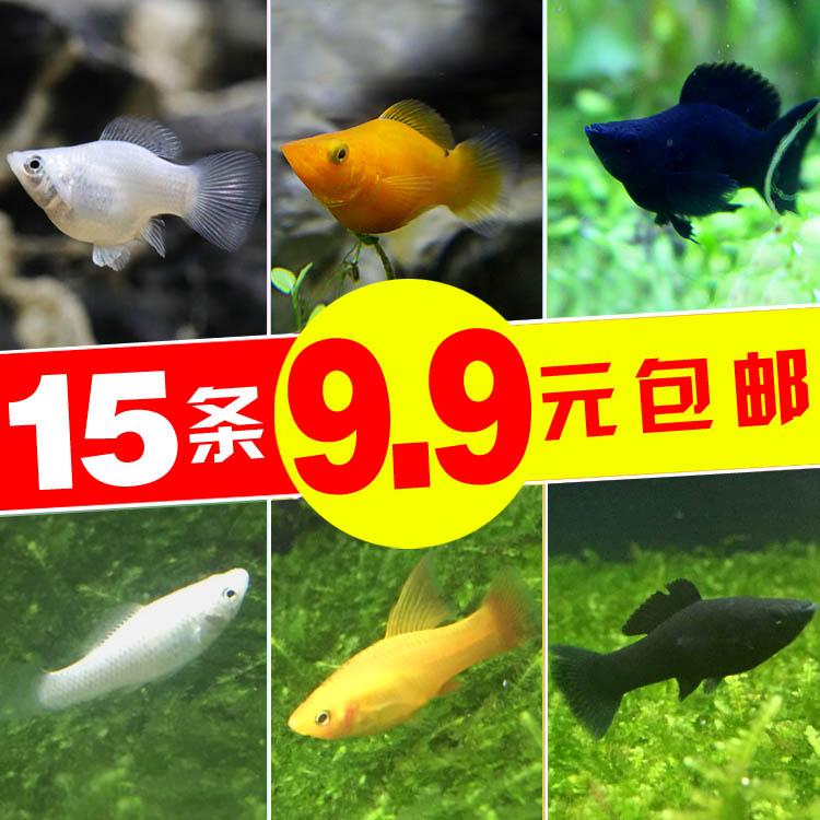观赏鱼胎生鱼 银黑玛丽鱼金球玛丽月光鱼 热带鱼观赏鱼宠物鱼活体图片