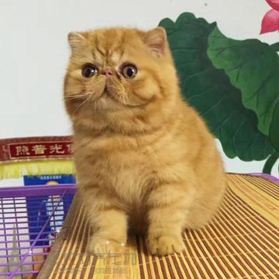 纯种加菲猫宠物猫美国CFA赛级证书活体异国短毛猫红虎斑公幼猫8