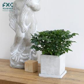 芳心草室内植物绿宝幸福树盆栽电脑桌面阳台净化空气绿植花卉盆景