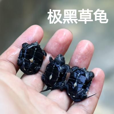 【萍子】2018年外塘中华草龟锦集金线黑墨草极黑金宠物龟活体乌龟