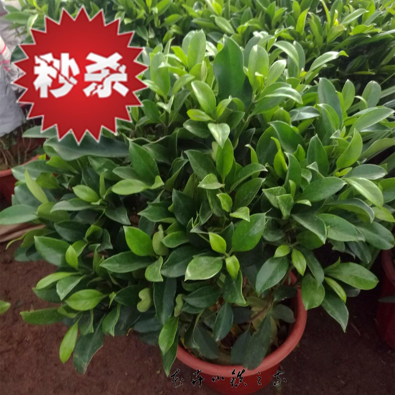 非洲茉莉花盆栽植物四季常青绿植客厅室内大型植物吸甲醛净化空气