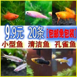 灯科鱼活体红绿灯孔雀鱼斑马鱼草缸淡水宠物小型热带观赏鱼活体