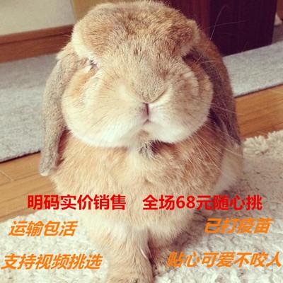 包邮垂耳兔活体宠物兔猫猫兔宝宝迷你侏儒兔纯种视频挑选安全放心