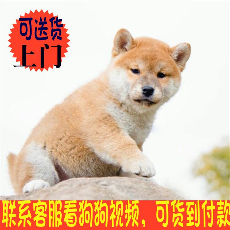 纯种双血统日本柴犬 幼犬中型犬 出售 正宗日系柴犬活体宠物狗狗